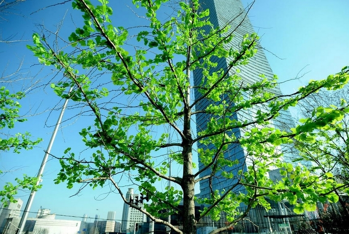 沈阳隆冬给大树装假树叶图片