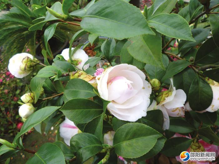顶摆着20多盆茶花,茶花树不到一米.其中的一棵茶花树正值开花