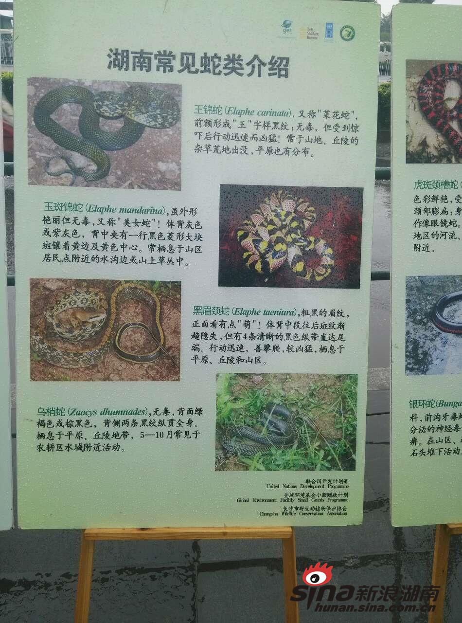 """""""蛇王""""长沙现场解剖野生蛇 上百条寄生虫蠕动"""