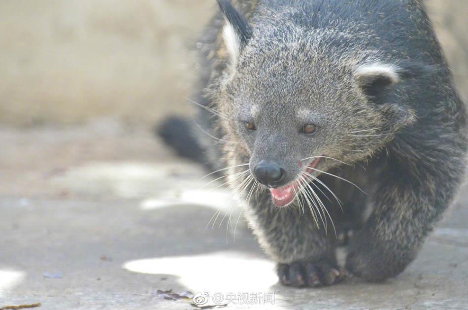据央视新闻微博报道,近日,云南野生动物园引进了4只熊狸。熊狸属灵猫科,因为尾巴具有抓握功能,能起到第五条腿的作用,所以被称为五腿兽。饲养员介绍,熊狸身长150cm左右,尾巴就有80cm。目前,中国的熊狸估计不足200只,被列为国家一级重点保护动物。