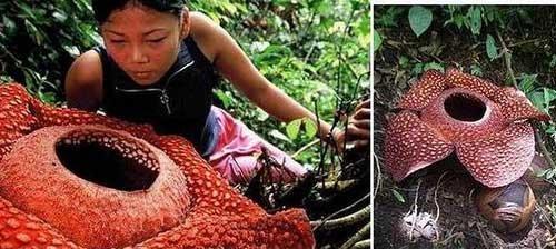 花:这种生长于马来西亚的神奇花朵号称世界上尺寸最大的花,它