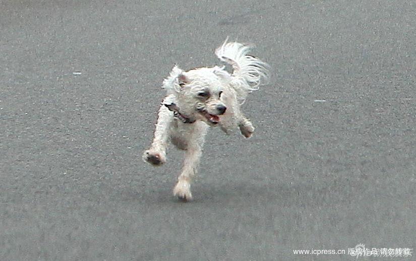 新浪娱乐讯 北京时间2010年2月20人,洛杉矶当地时间2010年2月19日,好莱坞影星桑德拉-布洛克驾驶着奥迪轿车途经亨廷顿海滩。在繁忙的道路中央,突然一只流浪狗像无头苍蝇一样到处乱跑,只见布洛克不顾危险打开车门叫唤小狗,并在跟拍狗仔的帮助下把小狗送达了安全的地方。图库供稿
