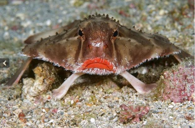 玫瑰色嘴唇蝙蝠鱼
