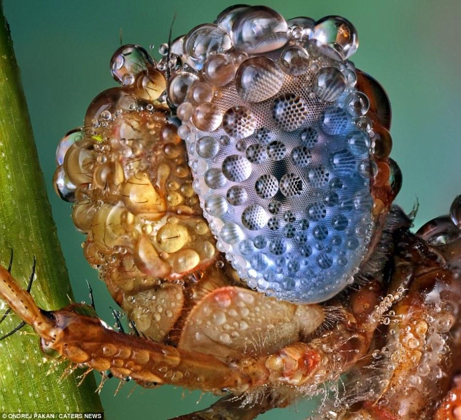 嘆為觀止的微距攝影︰雨滴中昆蟲如外星來客(高清圖)