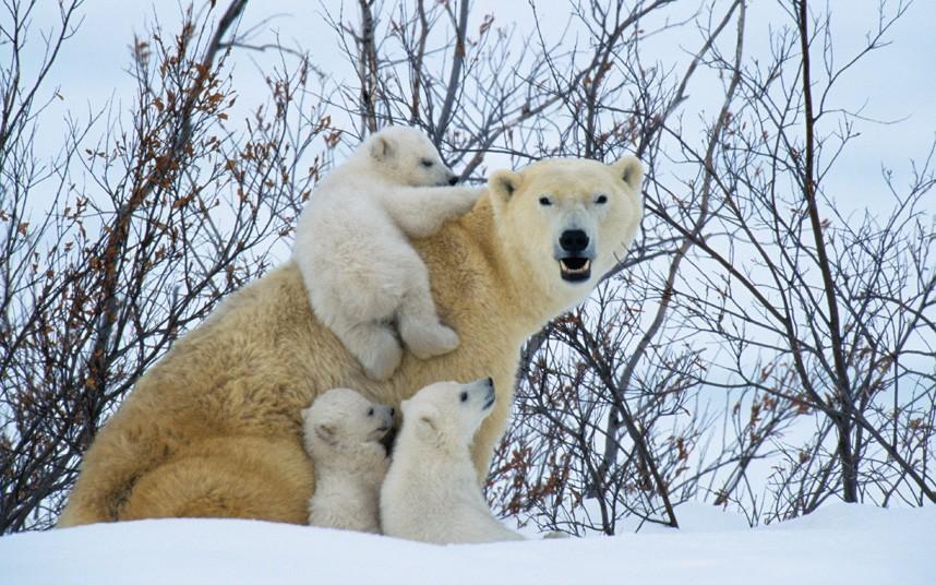 北极熊结束冬眠焕发活力:笨重身体溅起巨大水花