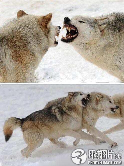 英野生动物园雪地群狼大战 巨齿獠牙尽现