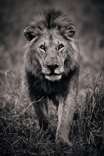 非洲野生动物黑白特写
