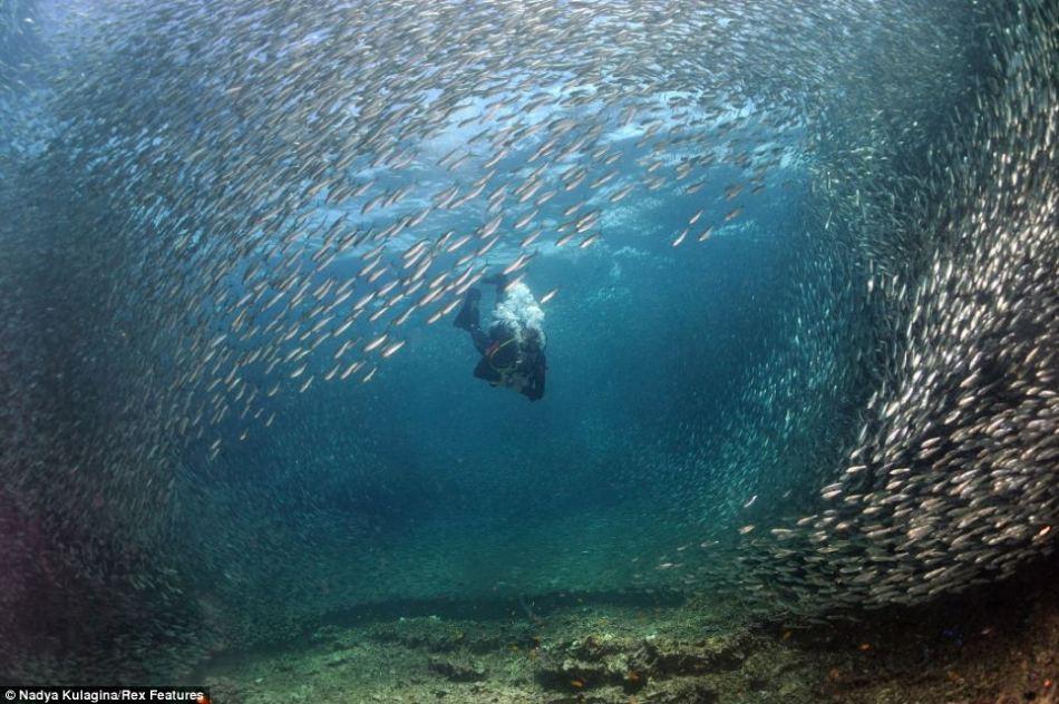 沙丁鱼群壮观迁徙景象:队形密集似发光墙壁