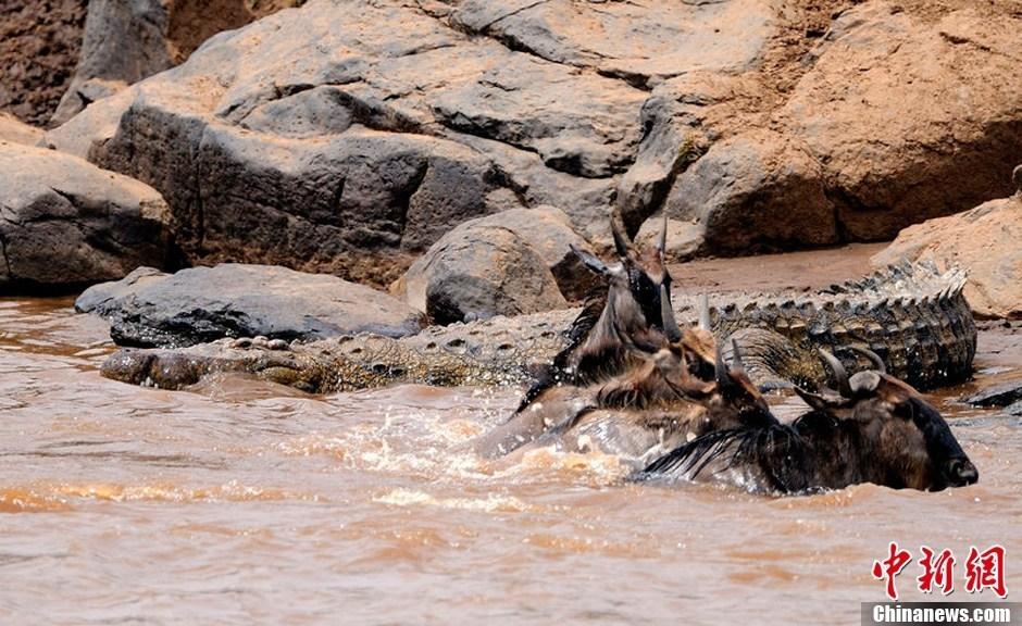 肯尼亚野生动物大迁徙:为避鳄鱼狂奔渡河