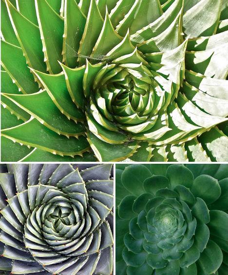 然后就会呈现出这种形状.这种方式让植物的新生叶子与旧叶子互相