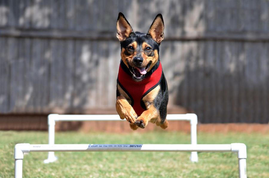 动物运动会 摄影师拍摄宠物奔跑中的精彩瞬间
