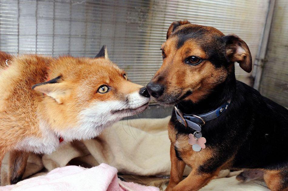 野生狐狸自认宠物行为狗相似