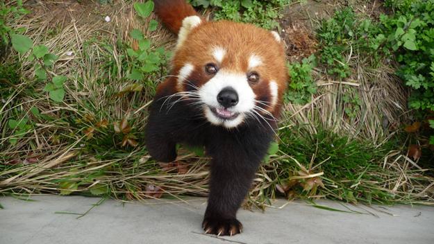 濒危动物小熊猫面露微笑萌态十足