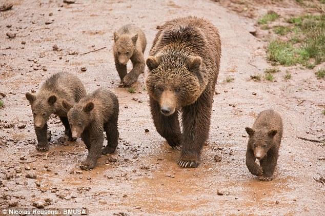这幅照片由摄影师尼古拉斯-瑞尔森斯拍摄,照片中的棕熊幼仔非常可爱.