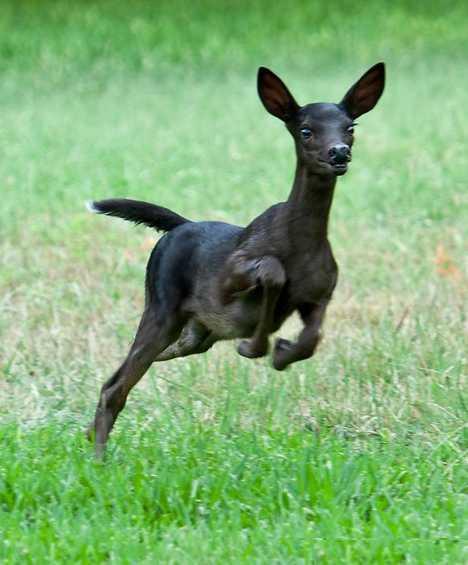 盘点黑变病动物:黑色小鹿野外罕见
