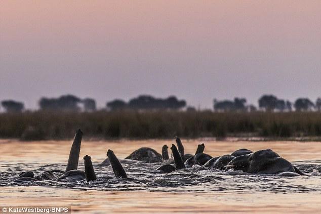 非洲象举象鼻潜水过河有趣瞬间