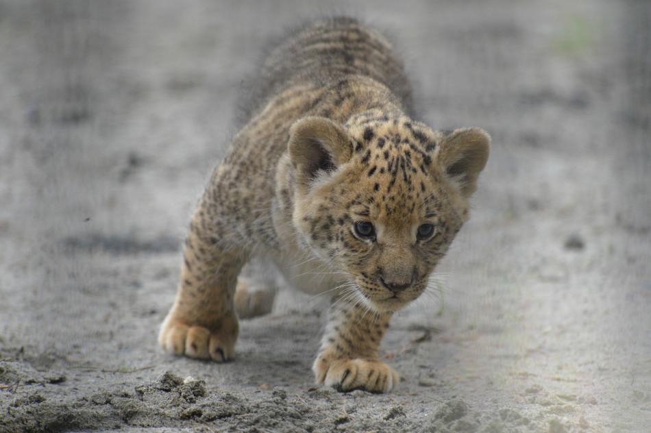 俄罗斯动物园产下罕见狮狮虎幼崽:萌态十足