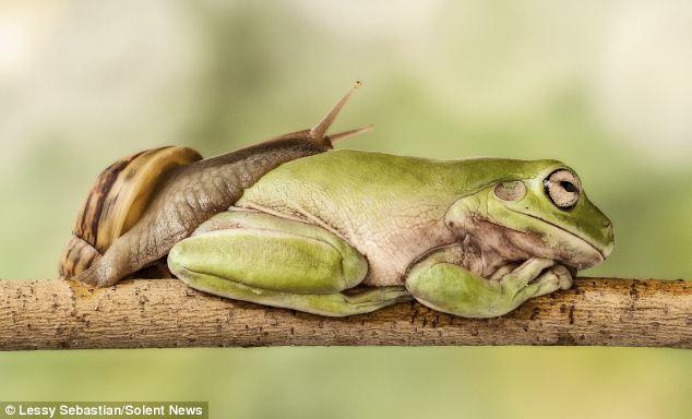 蜗牛从午睡青蛙身上爬过有趣瞬间