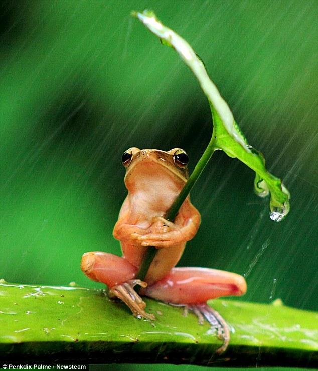 树蛙撑叶子伞遮风挡雨精彩瞬间