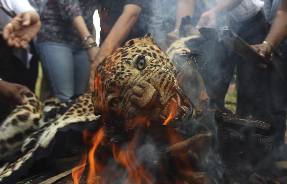 印度燃烧兽皮抵制偷猎:火中豹子似哭泣