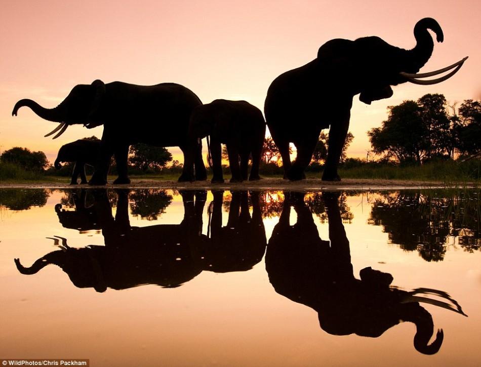 英国野生动物摄影展佳作:余辉下的非洲象群