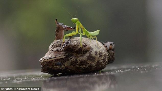 摄影爱好者拍螳螂给蟾蜍搔痒搞笑瞬间