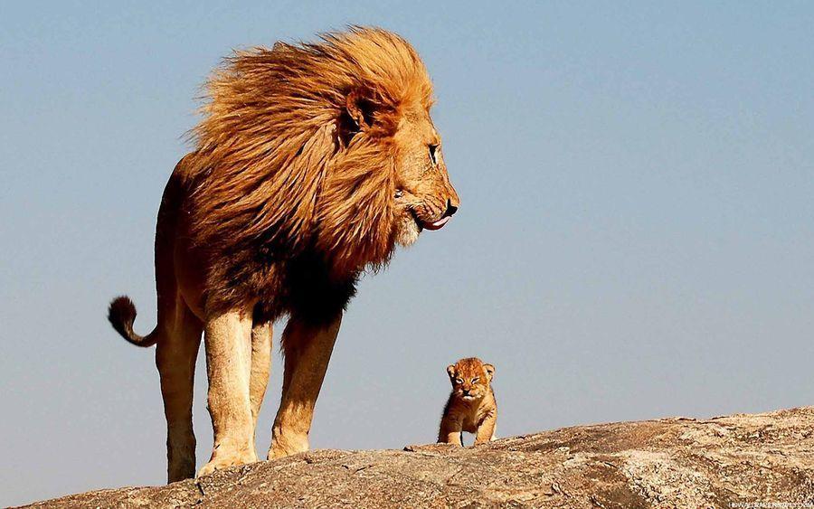 """动物温馨亲情照:""""狮子王""""父子巡视领地"""