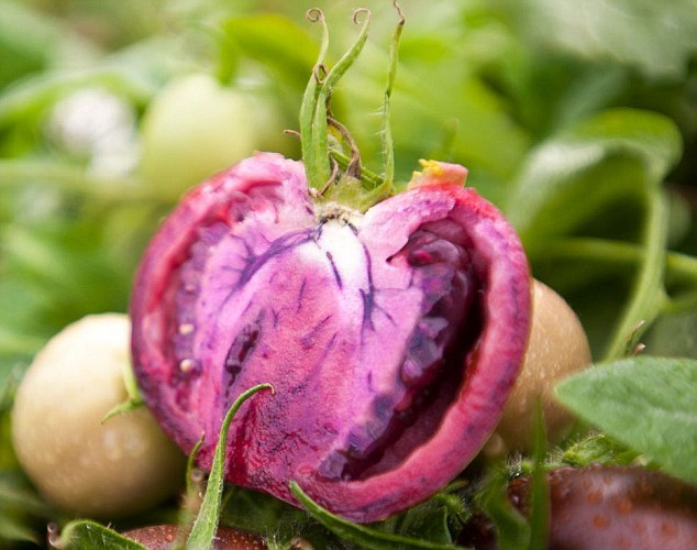 英科学家育出转基因紫色西红柿可防炎症