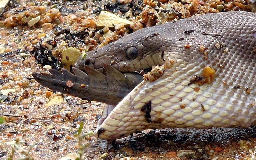 【探秘自然】巨蟒绞杀2米长鳄鱼艰难吞下:身体撑变形