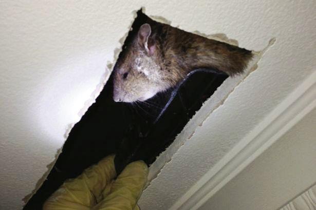 英国城市现60厘米长大老鼠-抵抗力变强不惧毒药