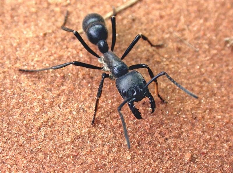 南美发现食肉性巨型热带蚁:长28毫米数量庞大