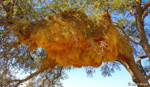 最怪异奇特的10种鸟巢:酷似公寓楼的织巢鸟巨巢