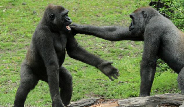 是灵长类动物中体型最大的动物