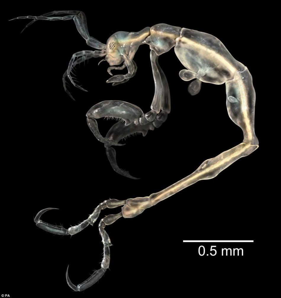2014十大新发现地球物种:从幽灵小虾到树栖浣熊
