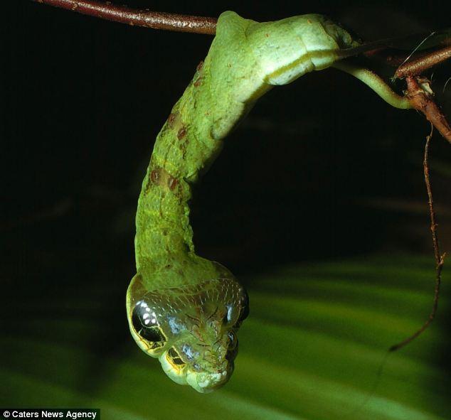虫,甚至是树桩的样子.但是这种鳞翅目幼虫却反其道而行之,它