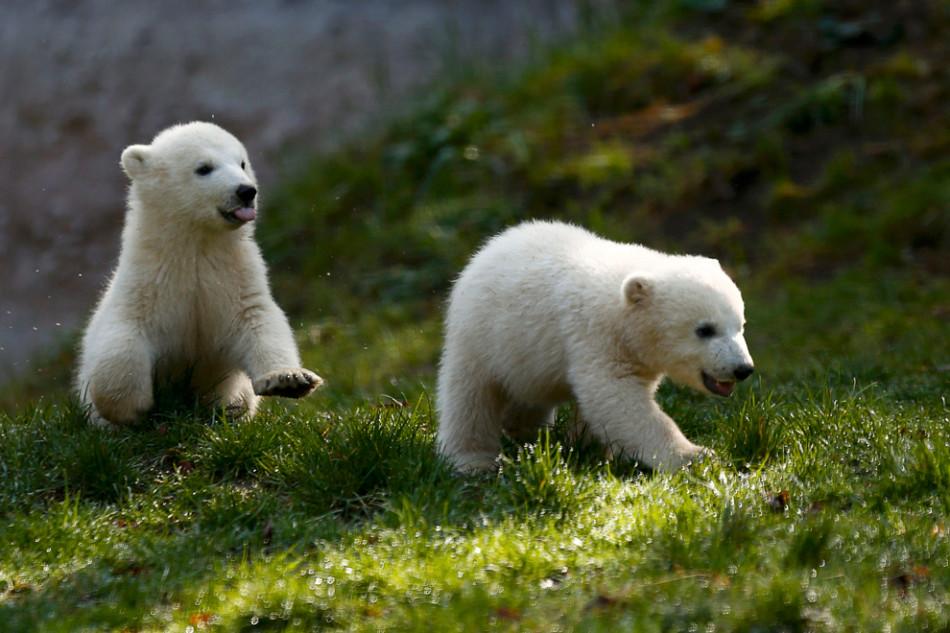 【精彩世界】春天里的动物宝贝:北极熊双胞胎在草地
