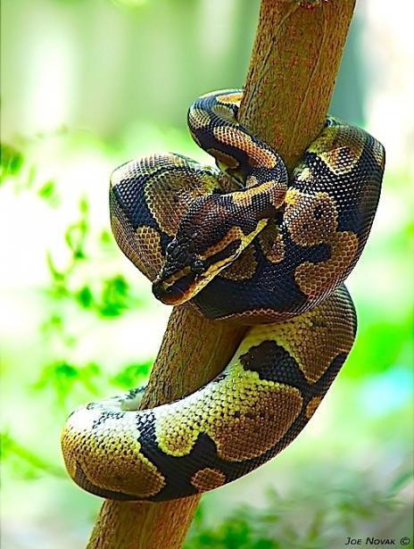 5种最流行的宠物蛇:玉米蛇颜色变化叹为观止