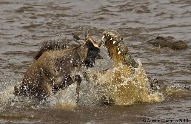 肯尼亚的震撼瞬间:斑马伫立如画角马鳄口脱险