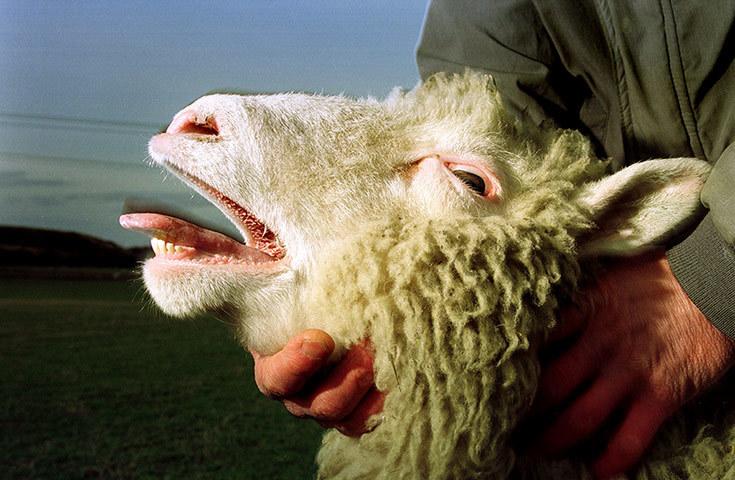 十大科学功勋动物:多利羊迎接生物技术新时代