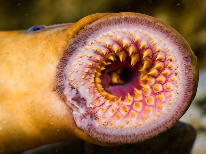 七鳃鳗鱼的牙齿