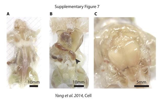 美科学家打造透明老鼠:帮助研究解剖细节