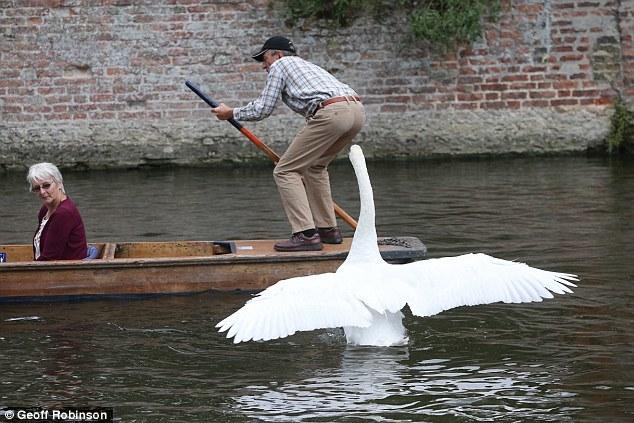 """剑桥康河""""暴力天鹅"""":攻击游客曾吓跑公牛"""