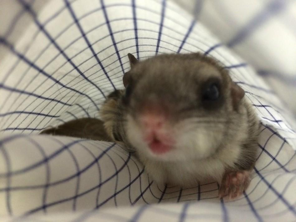 新生小鼯鼠的快乐生活:主人用奶瓶喂养长大