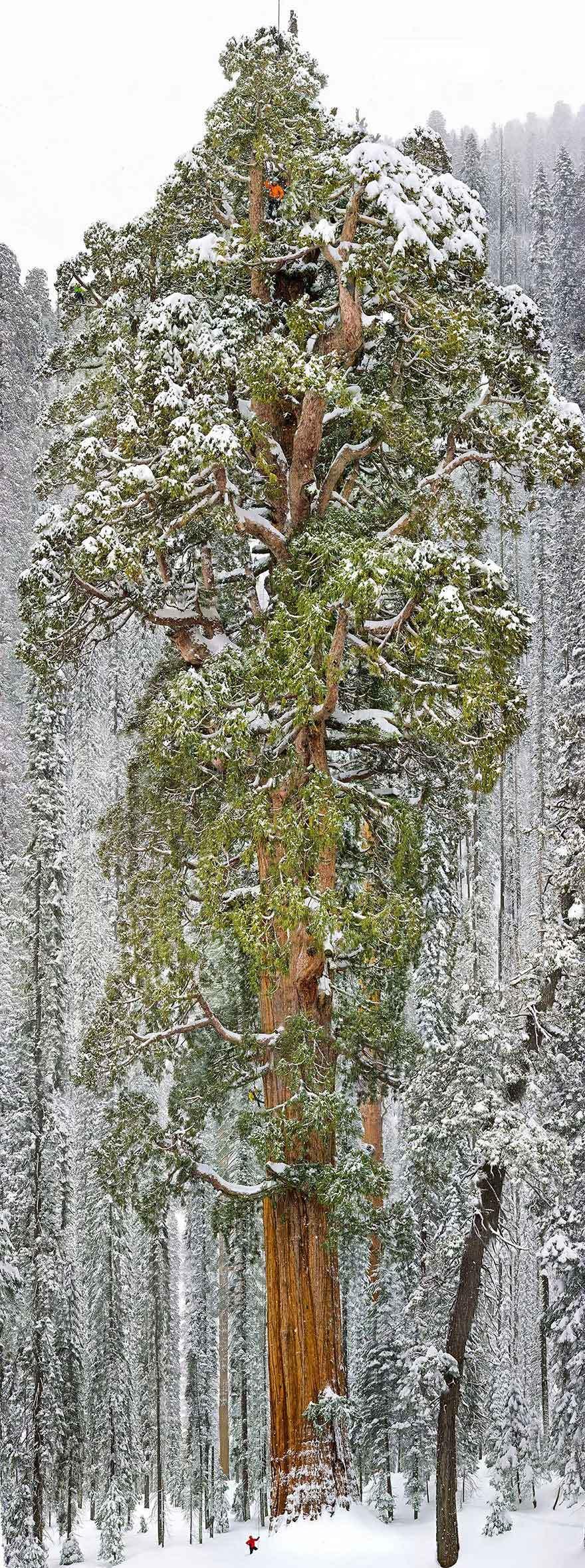 全球绝美树木奇幻壮观:也门龙血树形似巨伞