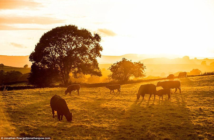 在英国湖泊地区的奥克斯赫附近,一群牛沐浴着夕阳的余辉在草地上吃图片