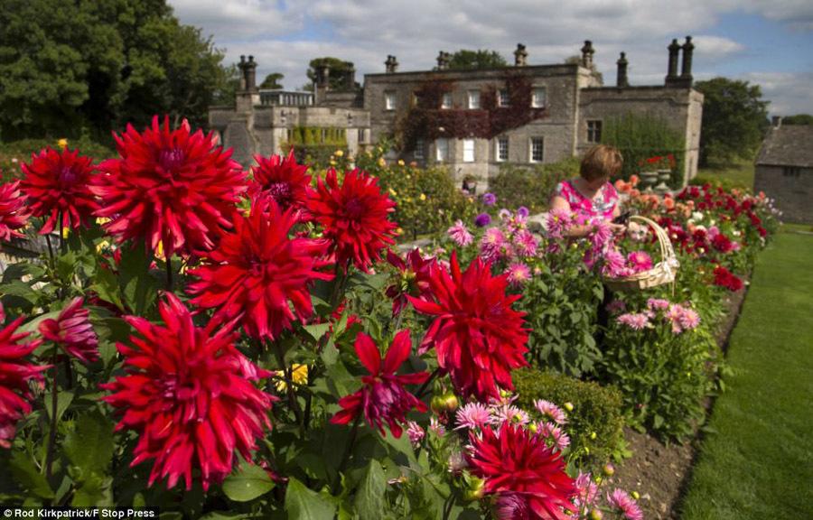 德贝郡阿什伯恩附近的蒂辛顿礼堂(Tissington Hall),美丽的大丽花图片