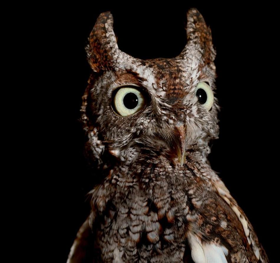 月光中的生灵:东方角鸮叫声阴森夜猴弹跳惊人