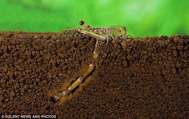 揭秘蝗虫产卵全过程:生殖器超出身体两倍(图)