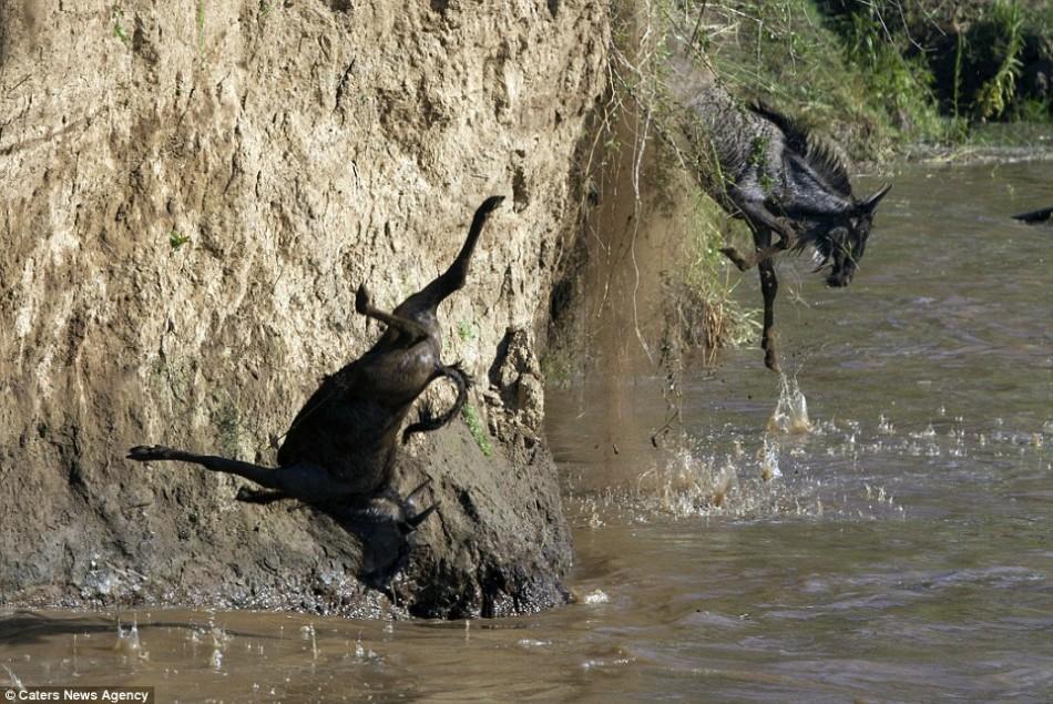 肯尼亚角马大迁徙:从悬崖跳入鳄鱼滋生水域