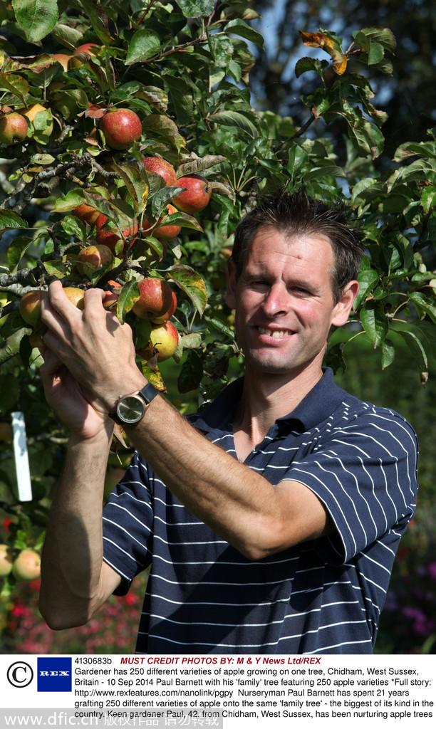 英国一神树结250种苹果:大小颜色形状大杂烩